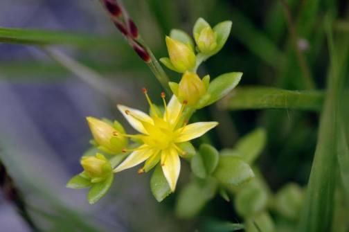 コモチマンネングサ 星形の小さな黄色い花です 雄しべだか雌しべがものすごく飛び出しています
