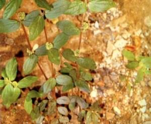 Tumbuhan Patikan Kerbau Obat Asma Dan Bronkhitis TANAMAN