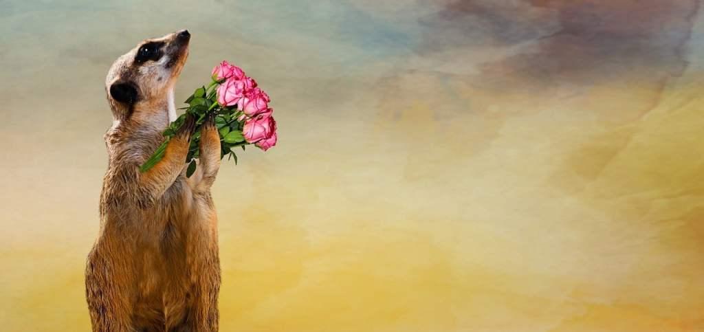 O dzięki i dziękuję - surykatka trzymająca bukiet róż