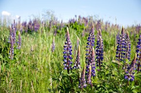 Lupines. I Love Lupines.