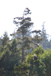 Saw a number of bald eagles, too - - - the sun made them super difficult to capture.