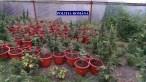 cannabis ialomita