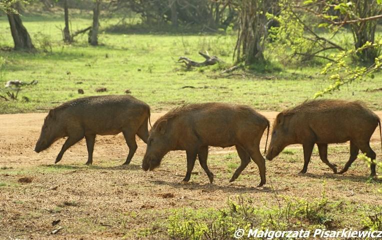 dziki (wild boar)