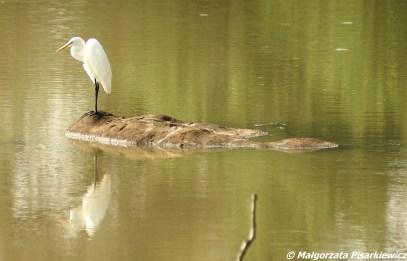Czapla biała (Great Egret)
