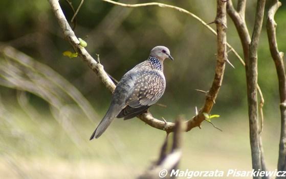 Synogarlica perłoszyja (Spotted dove)