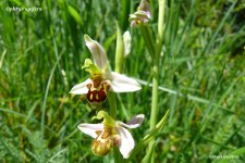 ophrys abeille (ophrys apifera) (1)
