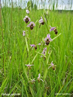 ophrys abeille (ophrys apifera) (3)