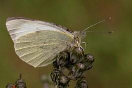 2-le-papillon