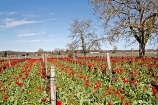 tulipa praecox st brice (34)_DxO