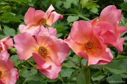 roses boissonat (147)