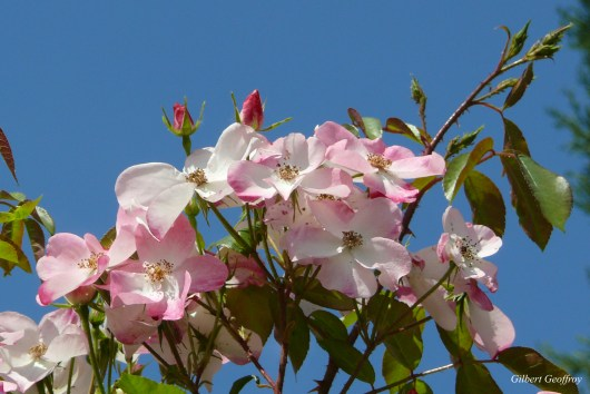 roses boissonat (173)