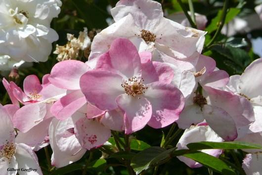 roses boissonat (175)
