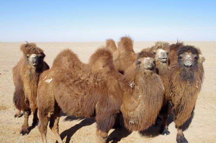 CamelGobi4