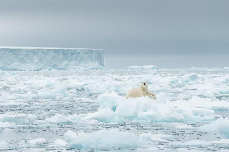Roy_Mangersnes_Svalbard_Polar_Bear