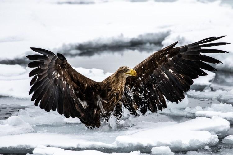 Rausu Hokkaido Japan winter steller sea eagle 11