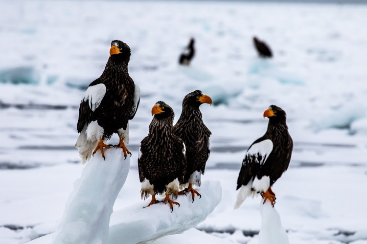 Rausu Hokkaido Japan winter steller sea eagle 2