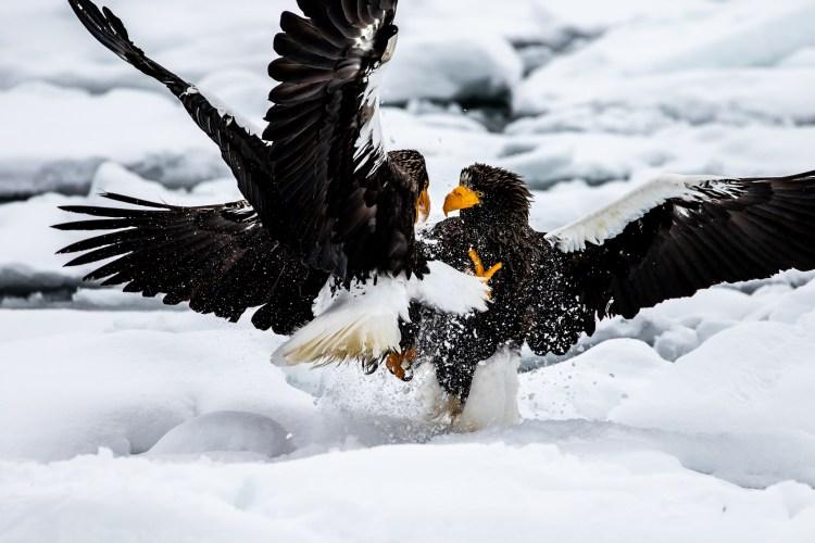 Rausu Hokkaido Japan winter steller sea eagle 5