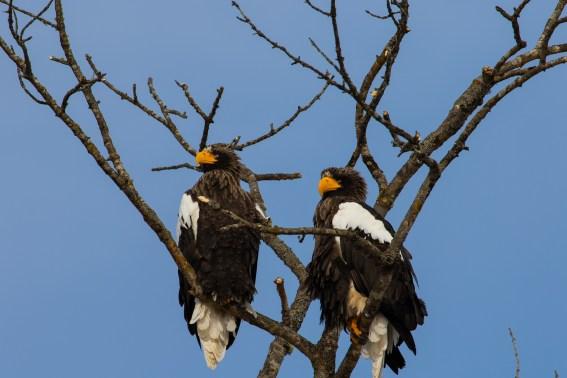 Stellar sea eagle_Kushiro National Park_Hokkaido_Japan_10