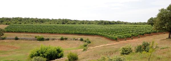 Vinograd u kojem rastu Meneghetti vina (Fotografija Meneghetti)
