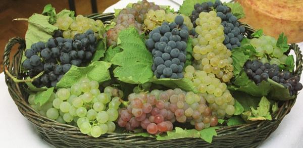 Košarica grožđa kolekcije sorata (Snimio Miso Lišanin / Acumen)