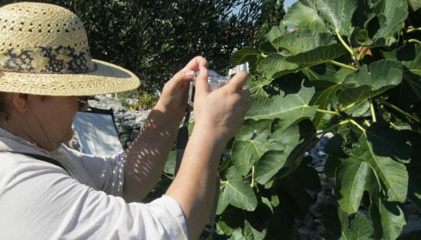 Urednica Oblizeka snima plodove smokve u lošinjskome Miomirisnome vrtu (Snimio Miljenko Brezak / Acumen)