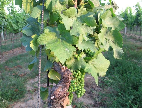 Na trsovima grozdovi još zeleni - kakva će biti berba 2012.? (Snimila Božica Brkan / Acumen)