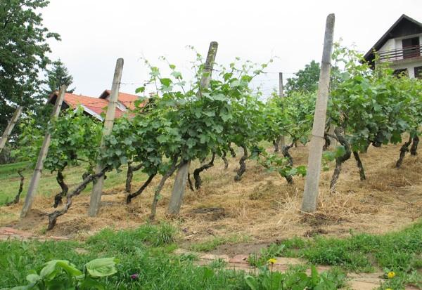 Vinograd na mjestu najstarijega trsja Trdenićeva djeda (Snimila Božica Brkan / Acumen)
