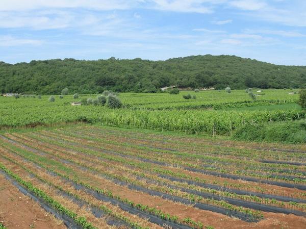 Vrbničko polje proslavili su vinoradi žlahtine (Fotografija Oblizeki)