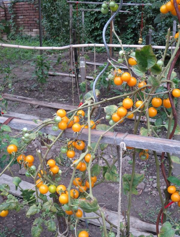 Stabljika zrele žute rajčice (Fotografija Božica Brkan / Oblizeki)