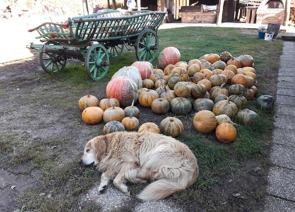 Sve u stilu: kućni pas izmoren gostima izležava se među bučama (Fotografija Božica Brkan / Oblizeki)