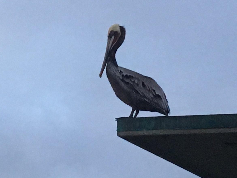Pelican in Ocean Beach
