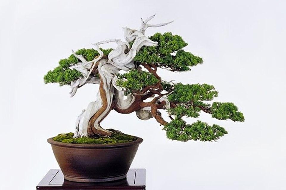 Bankan. Bonsai estilo espiral