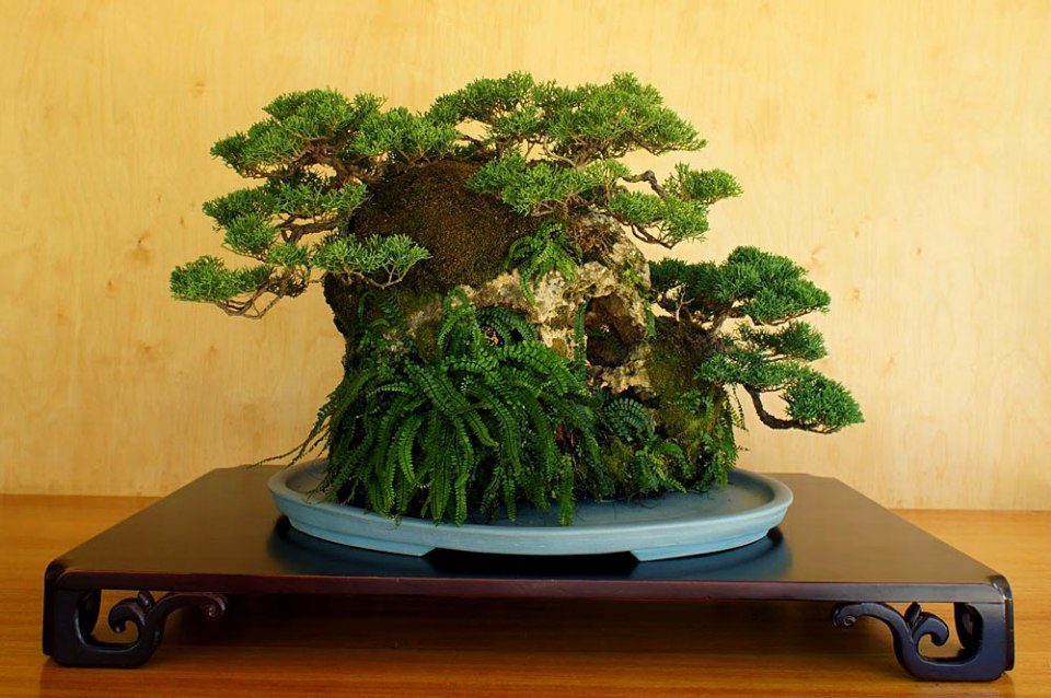 Ishitsuki. Bonsai estilo árvore sobre rocha