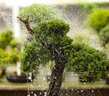Principais dúvidas sobre a rega de Bonsai