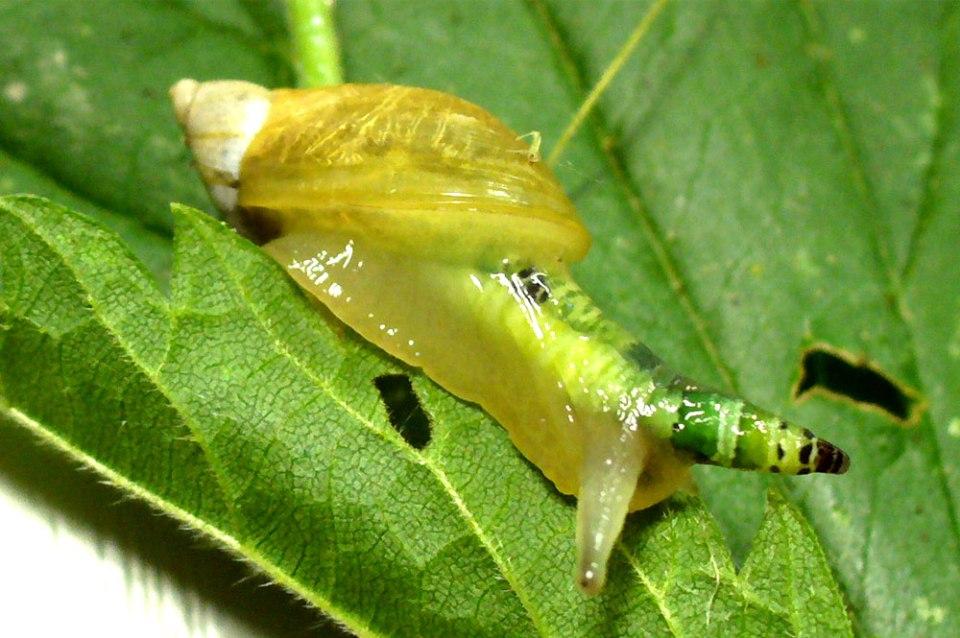 lesmas e caracois guia de pragas e doenças do Bonsai