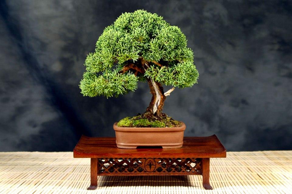 Juniperus Chinensis (Shimpaku)