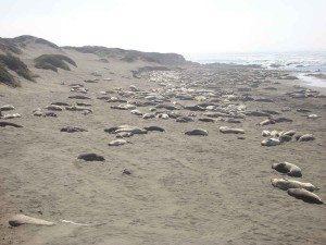 Big Sur - Hearst camp 052-sm-seals