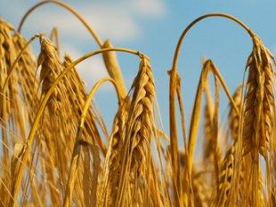 corn GMO