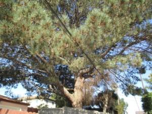Torrey Pine Orchard mw 02