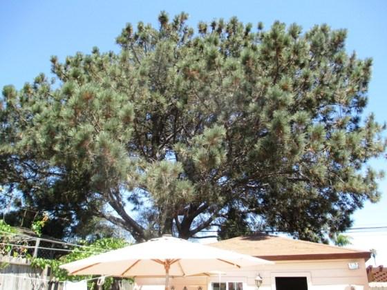Torrey Pine Orchard mw 05