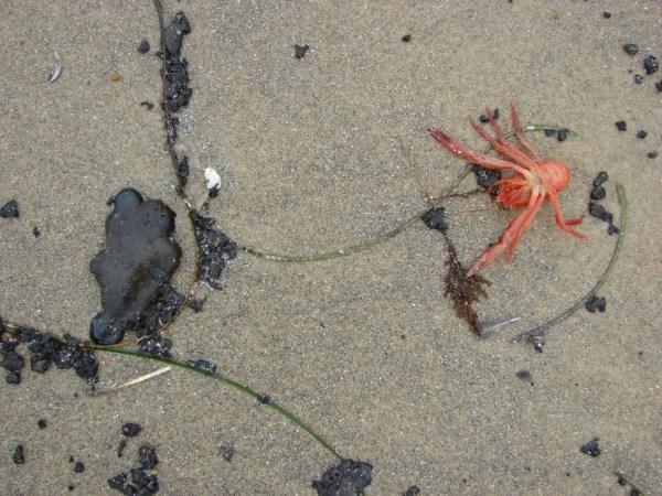OB red crabs tar balls
