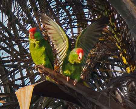 parrots in tree Barrie 02