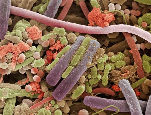 cum de a pierde greutatea bacteriilor gut bacterii)