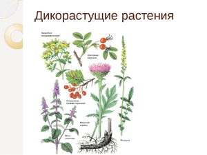дикорастущие растения список растений