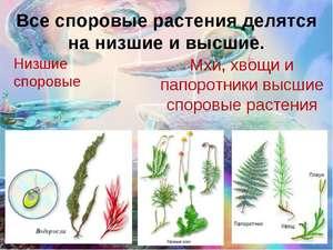 Spore för en växt