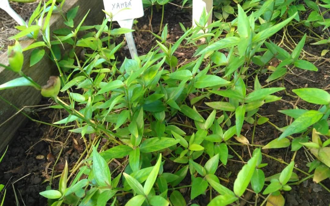 Agroecologia em Rede busca experiências com plantas medicinais, hortas e saberes tradicionais em saúde