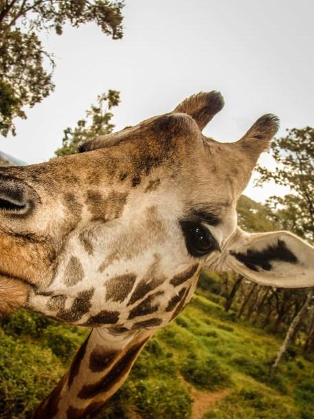 Kissed by a Giraffe