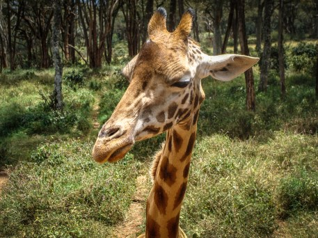 Giraffe posing in front of my camera