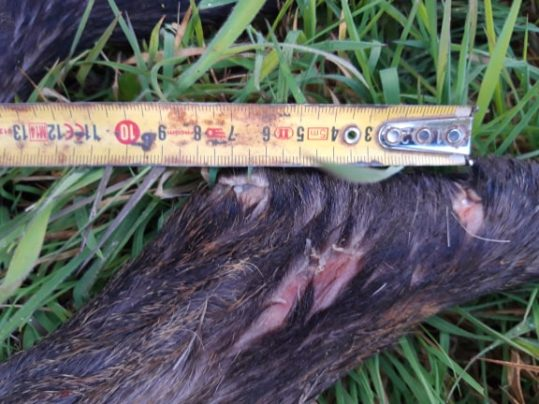Prédation du Loup sur un chevreuil