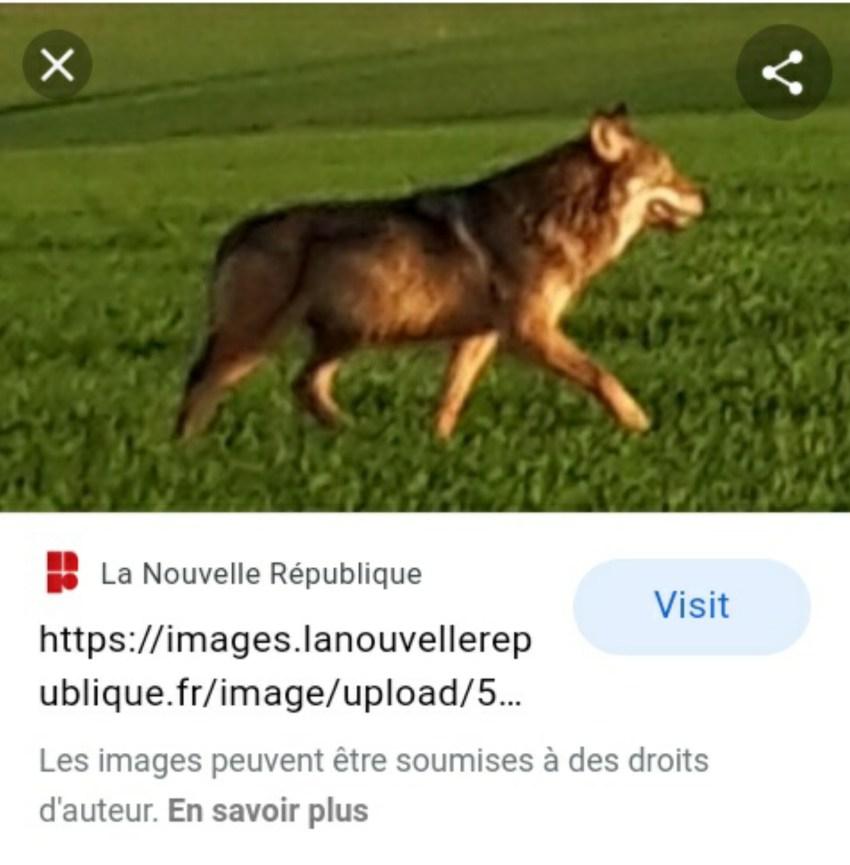Loup gris commun ou vulgaire
